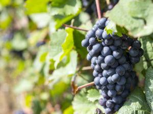 Bio-Urlaub auf dem Weingut gänz im Rheinland